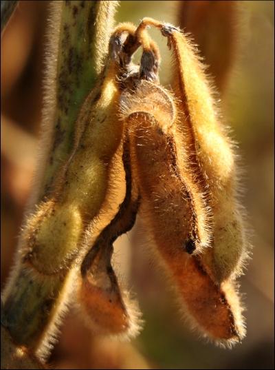 harvestsoybean