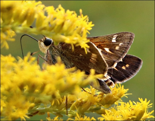 goldenrodnectar