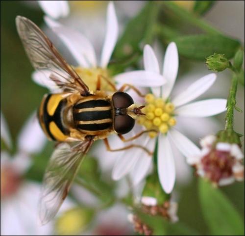 helophilus_trivittatus2