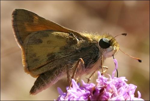 liatrisbutterfly