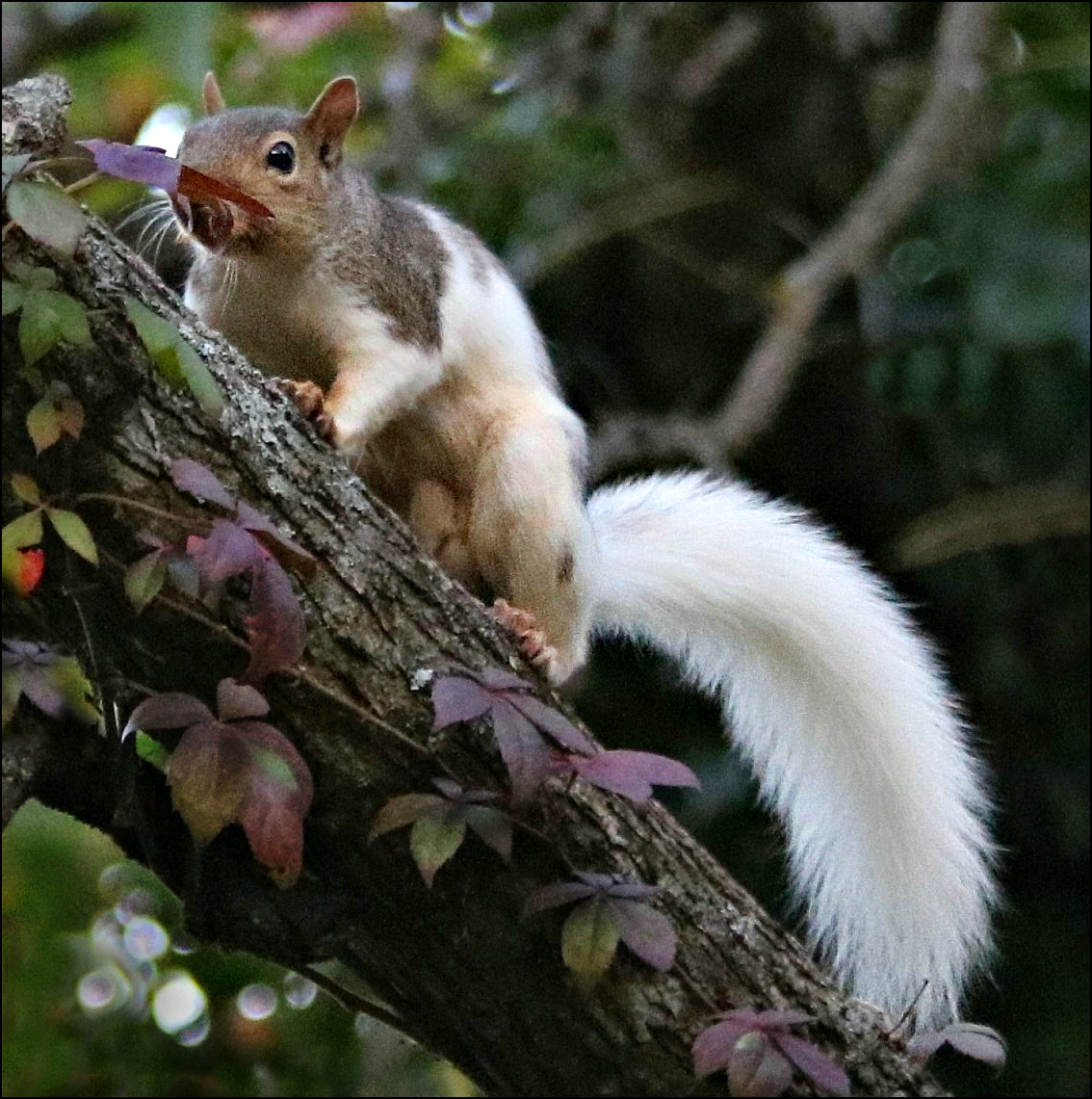 Meaning of white squirrel sighting - Whitesquirrel