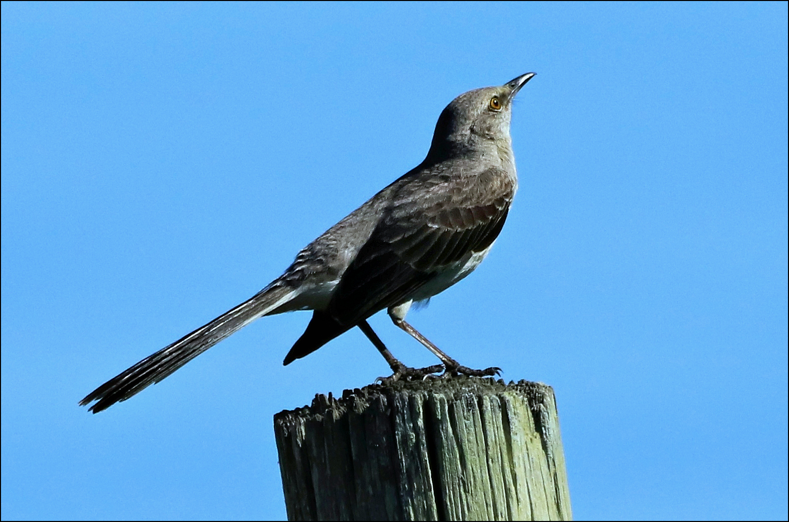 Northern Mockingbird Mimus Polyglottos On Galveston Island